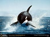 SuperNovato con muchas ilusiones-orca-killer-whale-1-.jpg