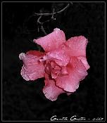 Flor azalea -florazalea.jpg