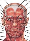 Retopologizando una cabeza-facemusclefront.jpg