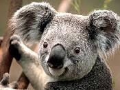 adjuntar archivos-koala.jpg