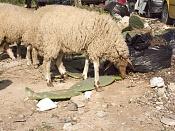 alguien vive cerca de ovejas y tiene camara de fotos -img_0144.jpg
