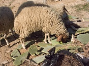 alguien vive cerca de ovejas y tiene camara de fotos -img_0146.jpg