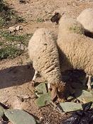 alguien vive cerca de ovejas y tiene camara de fotos -img_0147.jpg