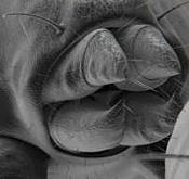 acaros - animal microscopico -acari_th.jpg