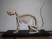 problemas con rigging-800px-ratufa_skeleton.jpg