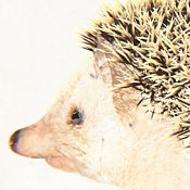 Erizo un animal exotico editado-erizo_th.jpg