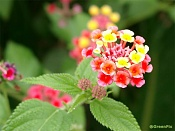Flora-miniflores.jpg