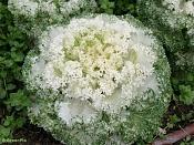 Flora-repollo-fractal.jpg