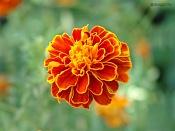 Flora-clavel-chino.jpg