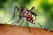 Trabajo para empresa de insecticidas-mosquito-tigre.jpg