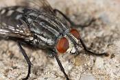 Macrofotografia-mosca_p.jpg