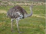 Suri un ave en extincion-suri-5.jpg