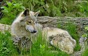 Modelado lobo-lobomexicanoiy9.jpg
