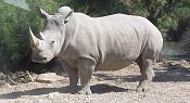 Un poco de ciencia-800px-rhinoceros_blanc_jhe.jpg