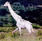 Un poco de ciencia-white-giraffe.jpg