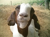 adios amigos-cs_goat.jpg