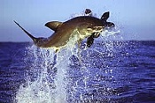 mar de tethis-great_white_shark_leaping_seal_geographic_profiling.jpg