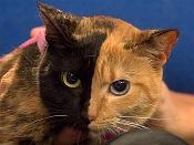 Un poco de ciencia-two-faced-cat-chimera-explained_58818_600x450.jpg