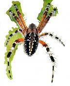 Trabajo en el recorte de esta foto de una araña tomada por mi -mi-aran-a-medio-recorte-de-fondo.jpg