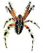 Trabajo en el recorte de esta foto de una araña tomada por mi -mi-aran-a-sn-fondoavance.jpg