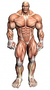 Material glow Vray-muscular-anatomy-front.jpg