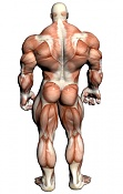 Material Glow Vray-muscular-anatomy-back.jpg