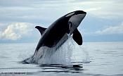 Orca-killer_whale_1.jpg