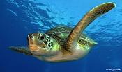 Tortuga de mar sin zbrush o similares-4042595991_e621acbd15_b.jpg