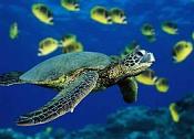 Tortuga de mar sin zbrush o similares-tortuga_marina.jpg