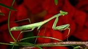 Mantis empezando-mantis.jpg
