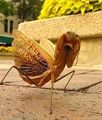 Mantis empezando-praying-mantis-01.jpg
