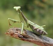 Mantis empezando-praying-mantis-02.jpg
