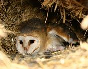 Fauna-lechuza-028psd.jpg