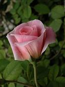 Rosa para Jennifer-rosa_fritz_nobis_7.jpg