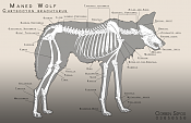 -maned_wolf_anatomy.png