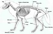 Práctica animales-Lobo-wolf-skeleton.jpg