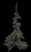 Invierno aislado-tree_fir_01.jpg