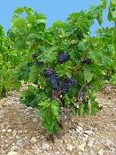-vitis_vinifera_001.jpg