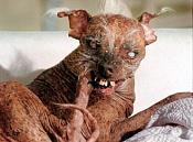 El perro mas feo del Mundo-0-1789103_4-00.jpg