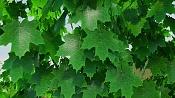 Modelar y animar enredadera-ivy-maya-vray-final-mayatubers-leaf-green.jpg