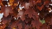 Modelar y animar enredadera-ivy-maya-vray-final-mayatubers-leaf-red.jpg