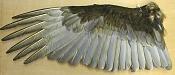 Necesito un ala de pájaro-tuvuwing11522a.jpg