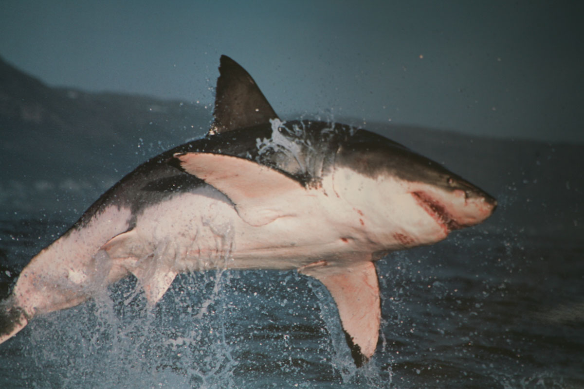 El Gran Tiburon Blanco - Info - Taringa!