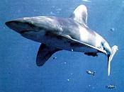 Nuevo tiburon blanco-tiburon.jpg