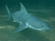 Nuevo tiburon blanco-t11.jpg