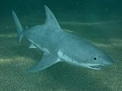 Tiburon blanco-t12.jpg