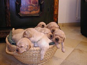 Regalo cachorritos de raza-image003.jpg