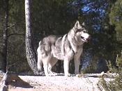 Modelado lobo-dvc00711.jpg