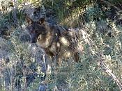Modelado lobo-dsc02559.jpg
