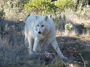 Modelado lobo-dsc02861.jpg